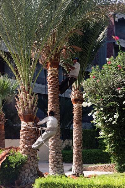 Стригут пальмы